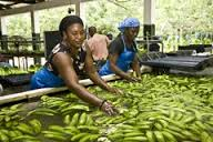 fairtrade%20salario%20piantagioni.jpeg