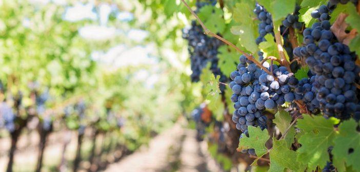 Canva - Grapes on Vineyard during Daytime