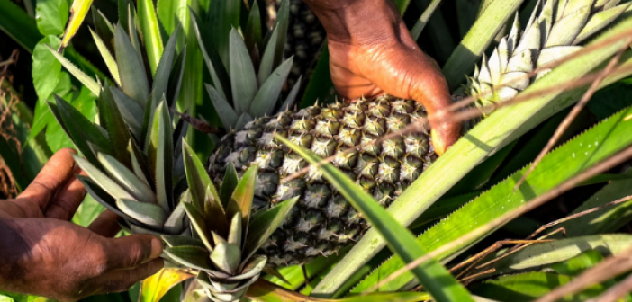 Ananas Dolcetto