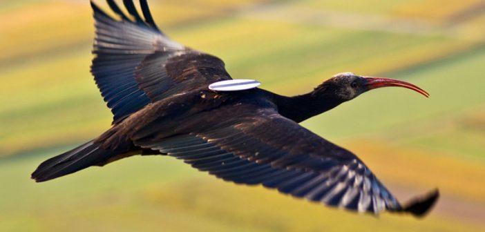 ibis-eremita.jpg