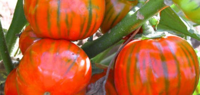 melanzana-rossa